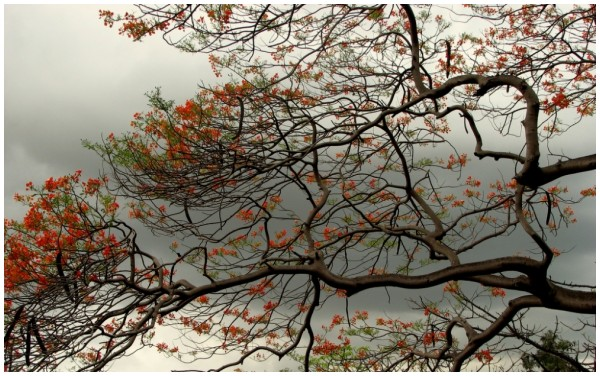 Gulmohar trees in Aarey Milk Colony