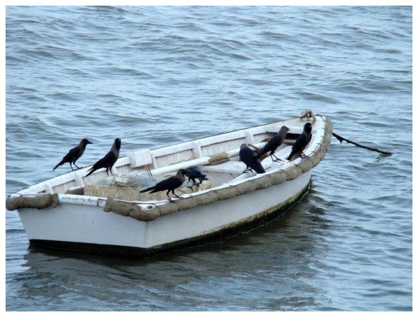 Crows in a boat near the Gateway of India, Bombay