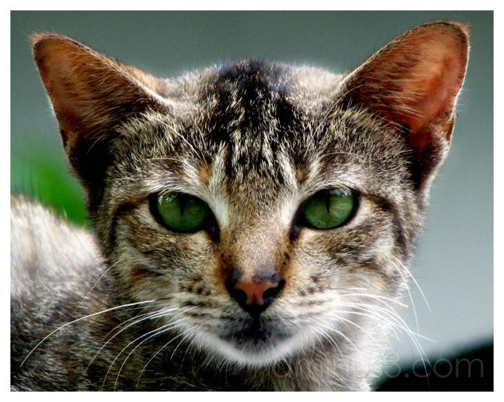 Kucing, Cat