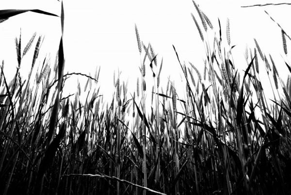 La tète dans les blés