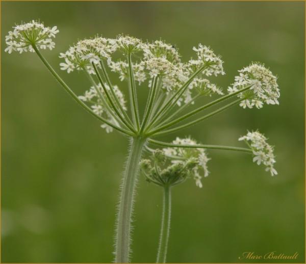 Achillea Millefolium..................