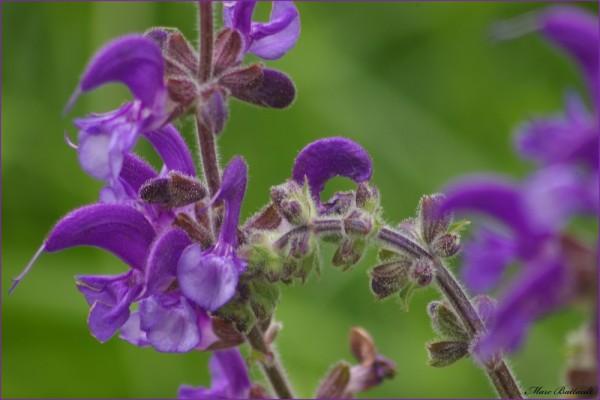 purple dream............................