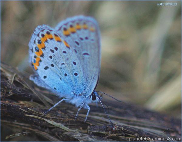 velours bleu ................................