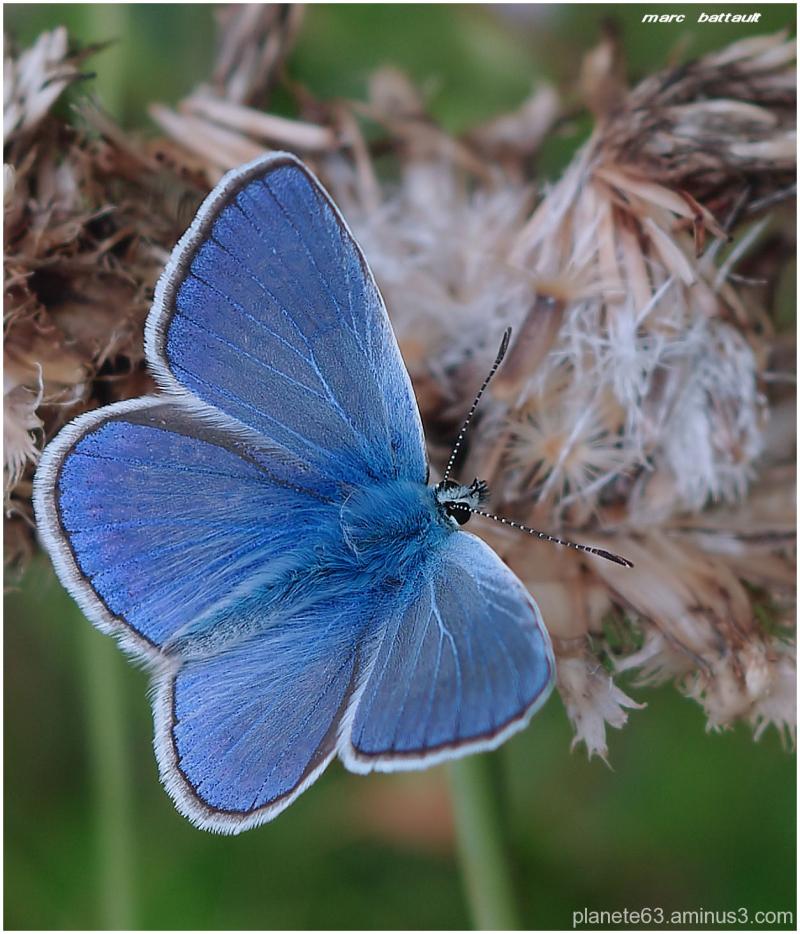 l'ange bleu.........................