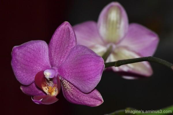 orchidée..................................