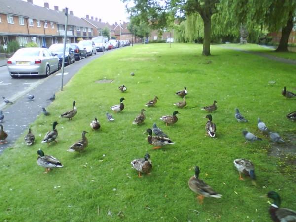 Ducks & Pigeons