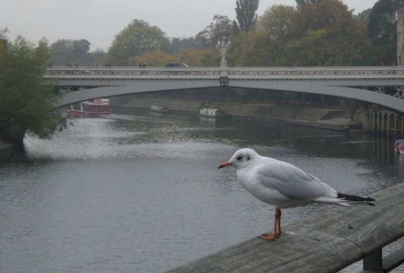 Gull above the Ouse