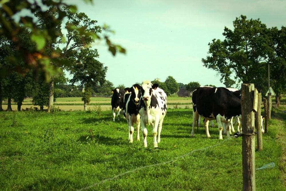 Pommiers, vaches, herbe verte... Normandie ?