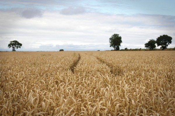 Paysage de champ de blé, Normandie