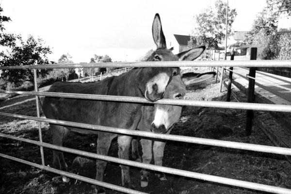 ane donkey