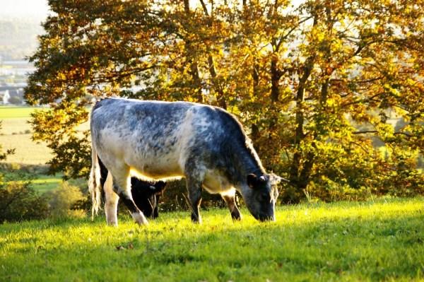 normandie campagne automne vache cow
