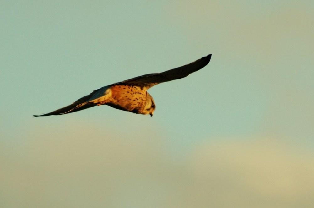 faucon crecerelle oiseau bird