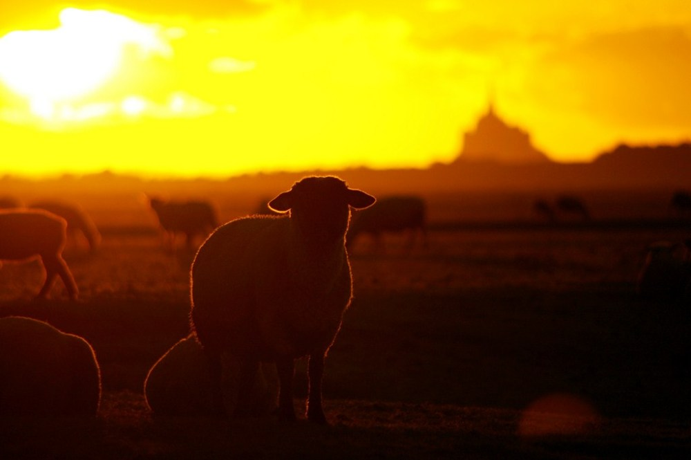 mont-saint-michel normandie mouton sheep pré-salé