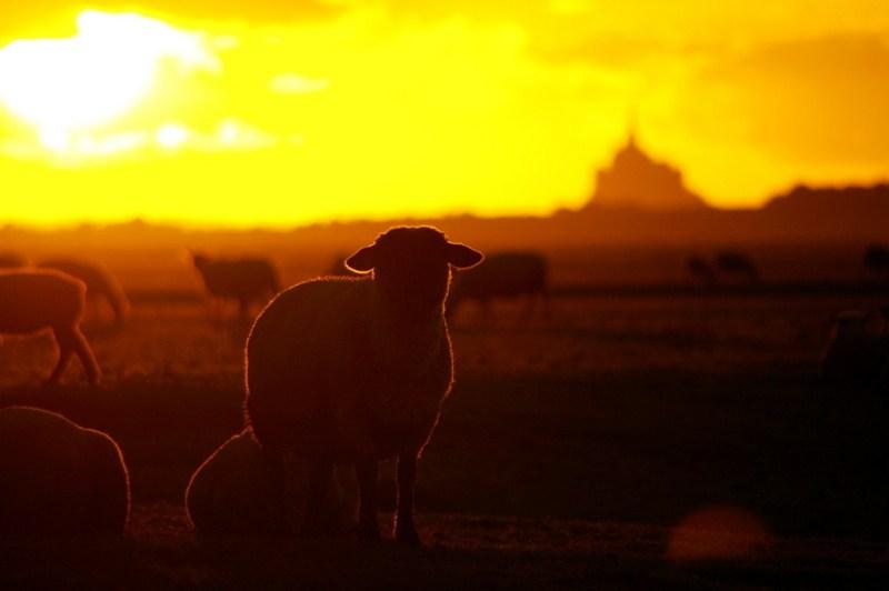 mont-saint-michel normandie mouton sheep pré-salé