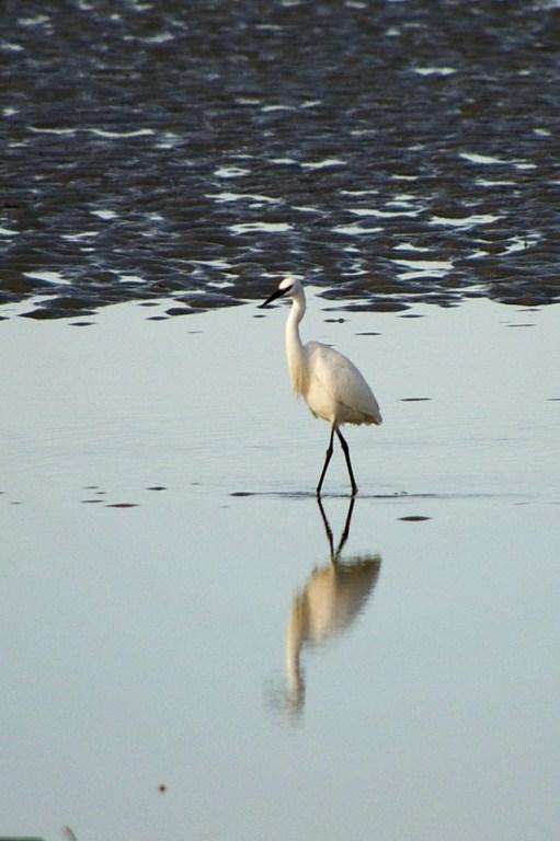 aigrette baie mont-saint-michel normandie oiseau