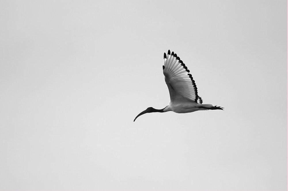 ibis sacré bretagne