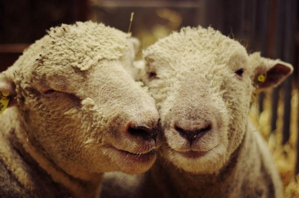 salon agriculture paris 2013 mouton