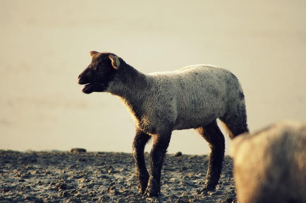 mouton agneau pré-salé baie mont-saint-michel