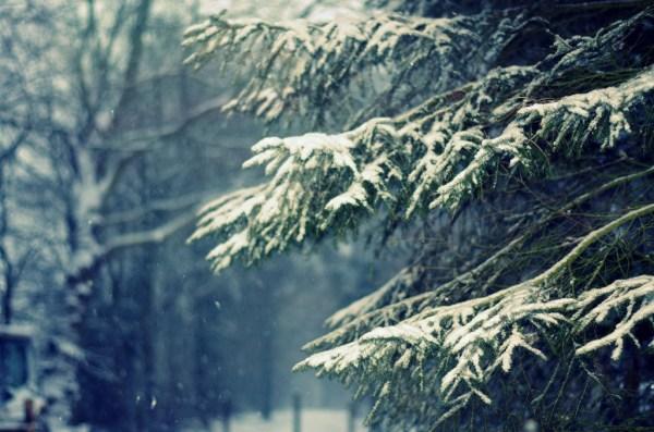 sapin neige normandie
