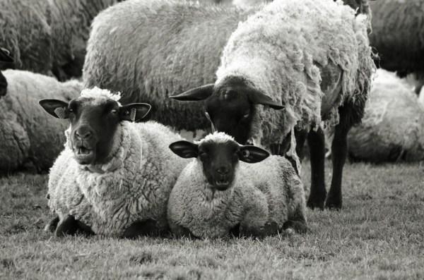 baie mont-saint-michel normandie moutons