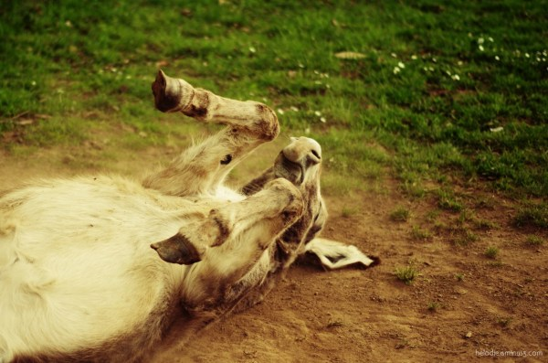 Rolling donkey