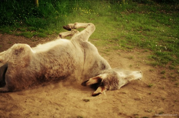 Rolling donkey, II