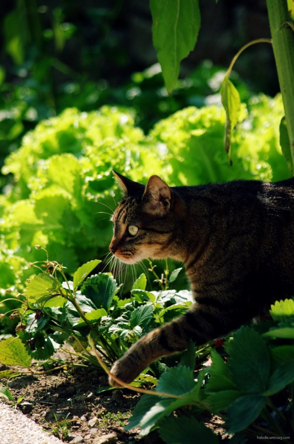 Salade de chat