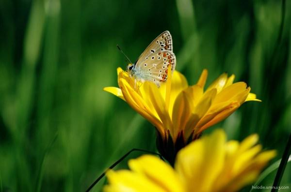 insecte papillon