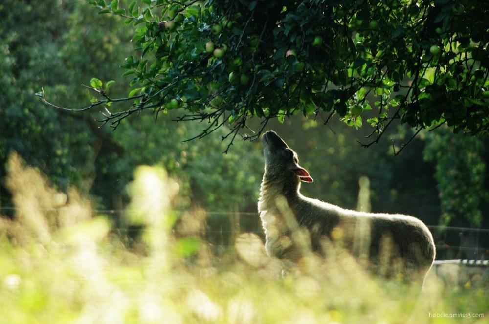 elodie hergoualch mouton normandie pomme