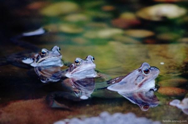 Les 3 grenouilles