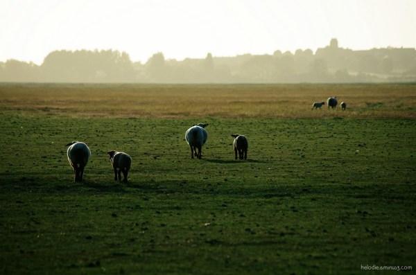 mouton sheep pré-salé normandie elodie hergoualch
