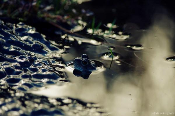 La grenouille et les oeufs