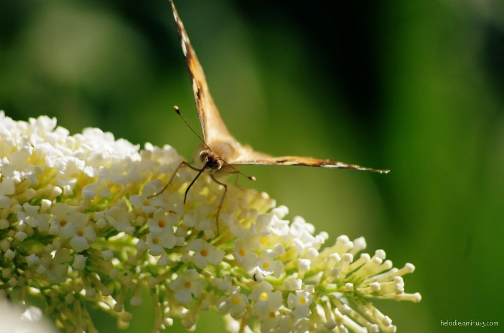 Papillon de ligne