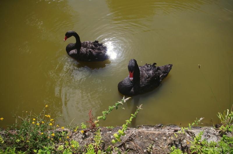 Les cygnes noirs