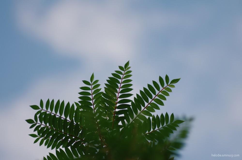Palmier péruvien