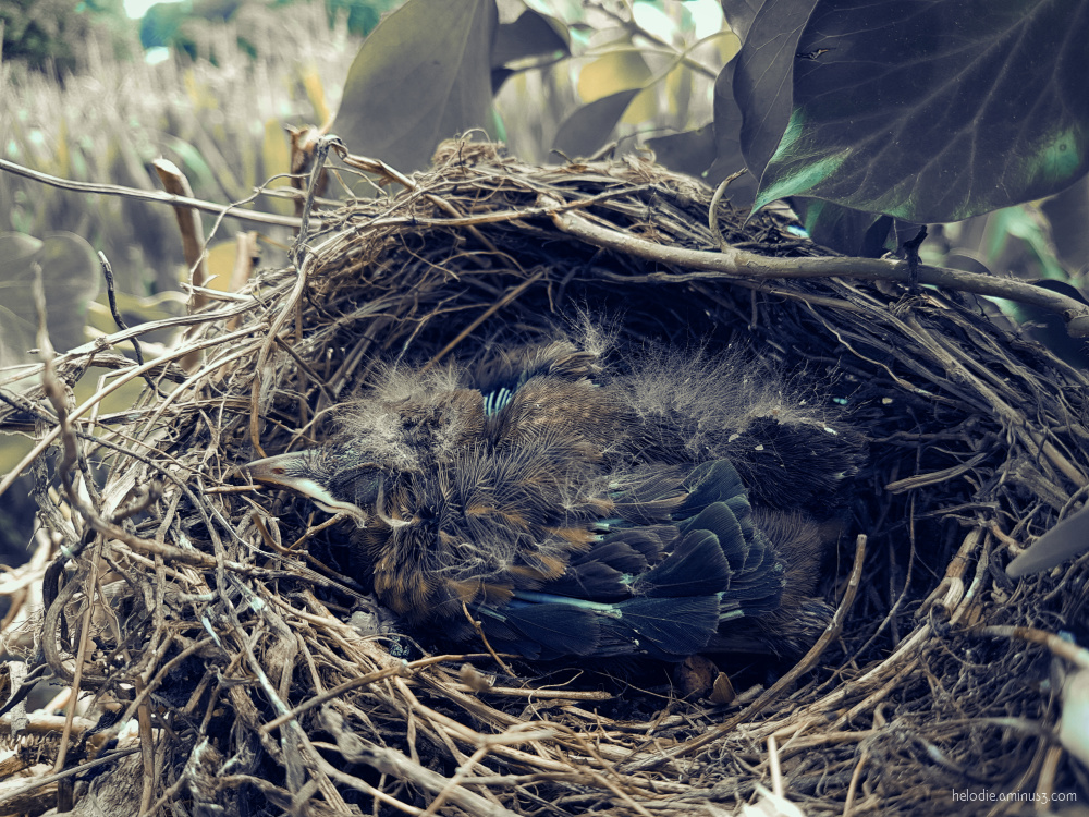 Le nid tombé du poteau