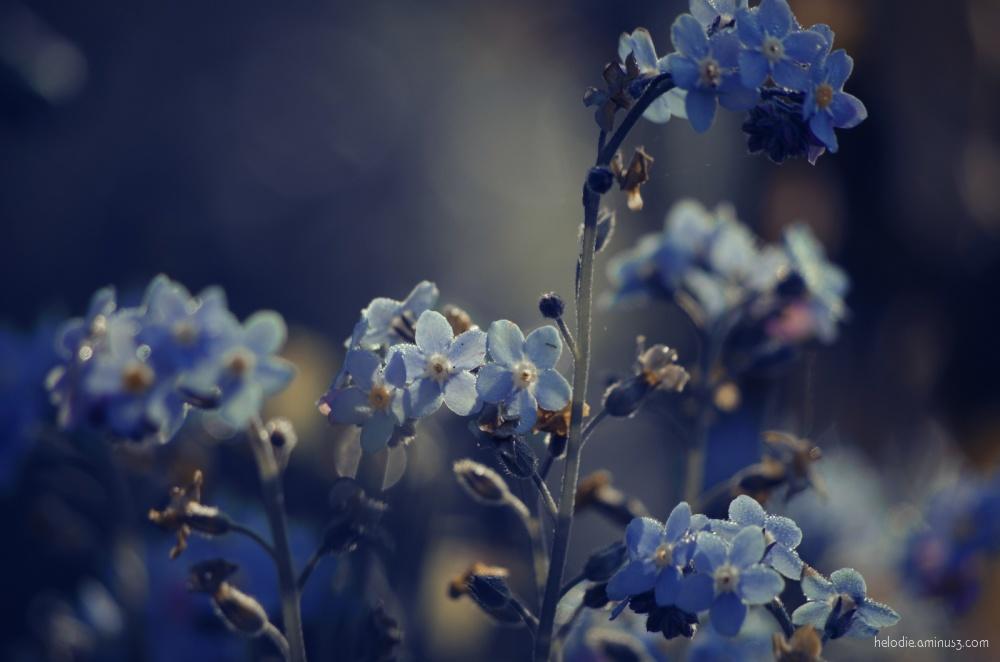 Les petites fleurs bleues