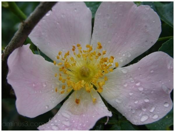 fleur,nature, églantier