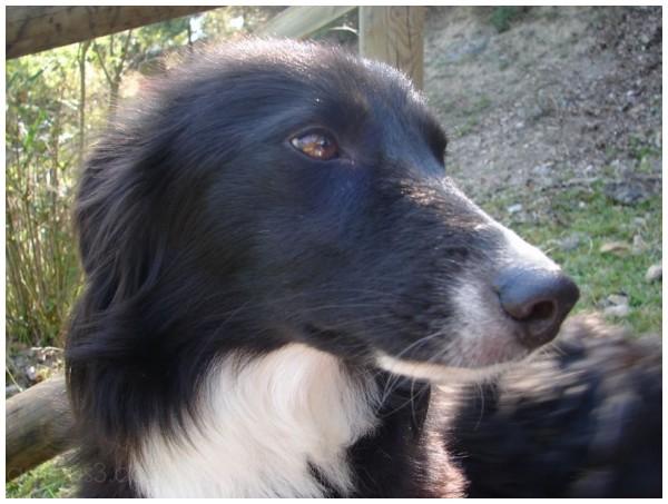 border collie, chien