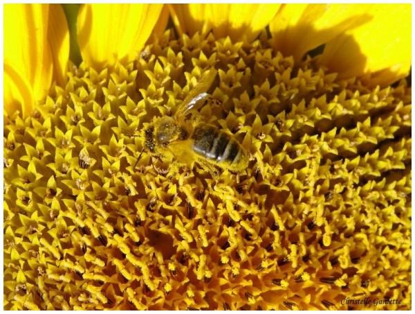 abeille , tournesol
