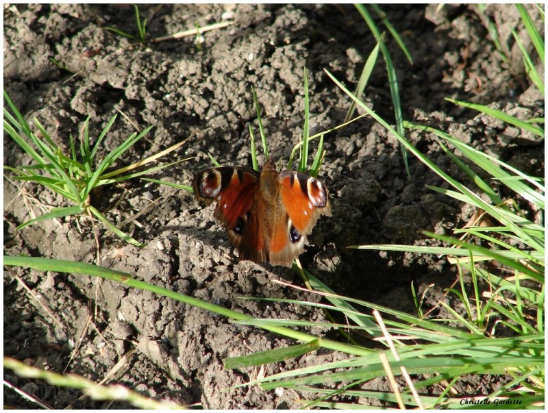 papillon, paon du jour