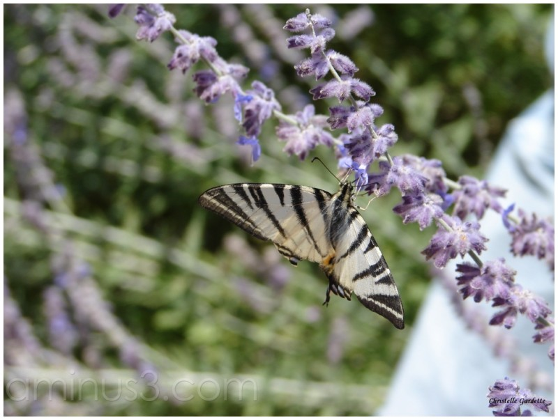 papillon, flambé