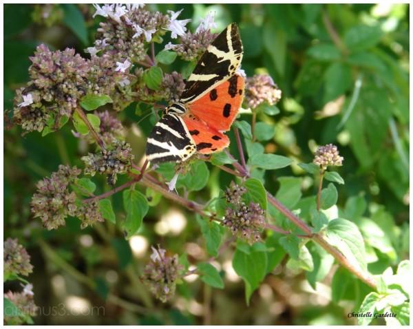 papillon, écaille chinée