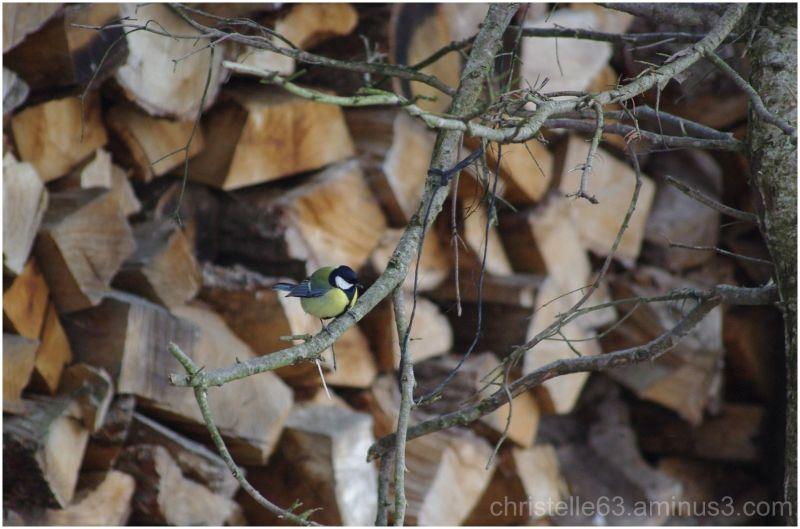 mesange oiseaux