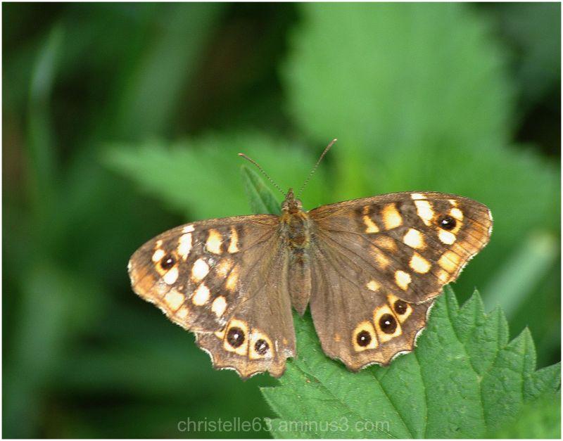 papillon, tircis