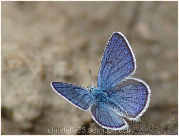 papillon l'azuré bleu