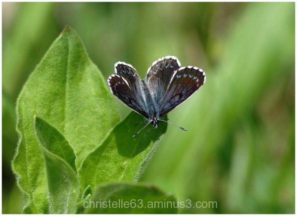 1ere rencontre avec ce papillon