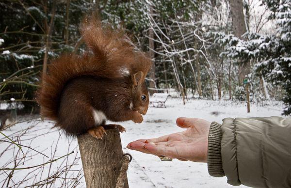 Ardilla sobreviviendo al duro invierno