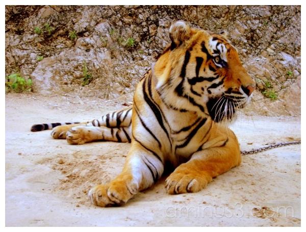Juvenile Tiger, Kanchanaburi, Northern Thailand