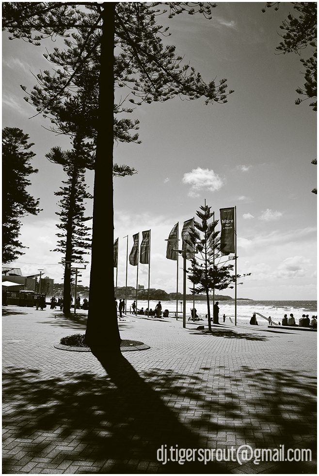 Under the Norfolk Pines of Manly Beach, Sydney